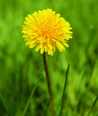 Uses side effects benefits of dandelion root tea shape magazine