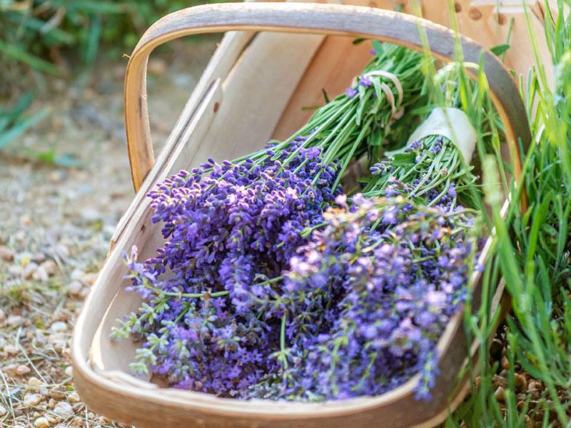michigan-lavender-inline.jpg